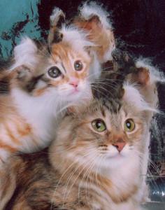 Американский кёрл - кошка-компаньон