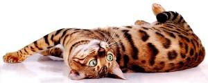 Бенгальские кошки под прицелом экспертов