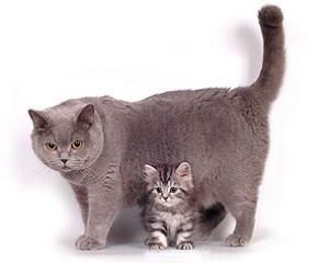 Беременность и роды у британских кошек