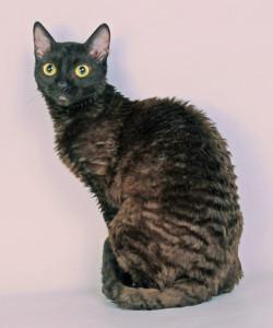 Герман-рекс порода кошки