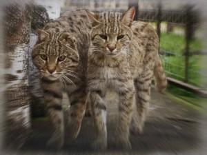 Хаус – камышовый кот