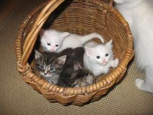 Какого выбрать котенка