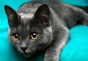 Корат порода кошки