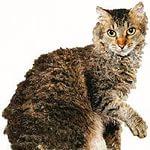 Ла Перм, ла Перм порода кошки