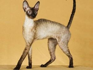 Легенды о сиамских кошках