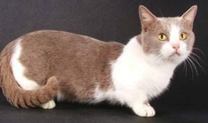 Манчкин (кошки-таксы)