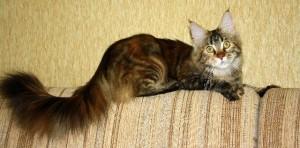 Мейн-кун — ее Величество Кошка