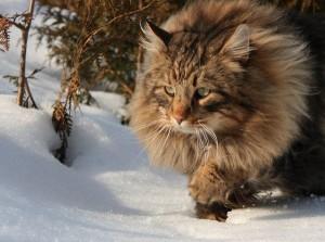 Норвежская лесная — кошка настоящего викинга