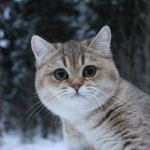 Общие вопросы о британских кошках