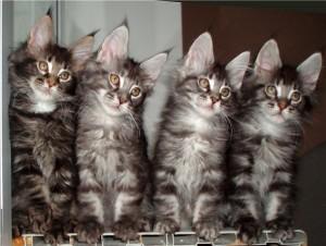 Развитие котят от рождения до полугод