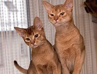 Секреты гармонии абиссинских кошек