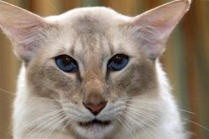 Сиамские кошки откуда крючки на хвостах