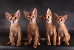 Сомали - сестра абиссинской кошки