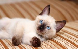 Тайская кошка. Все тайное становится явным