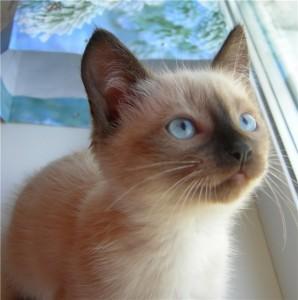 Тайские кошки на счастье