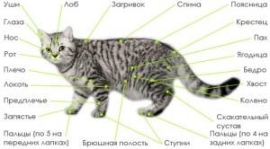 Анатомия кошек
