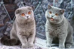 Имя для шотландского вислоухого кота