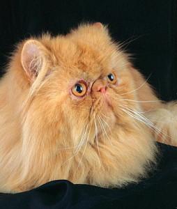 Окрасы персидской кошки