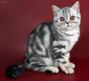 Шотландская прямоухая кошка - окрасы