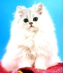 Уход за персидскими кошкамиОсновные правила ухода