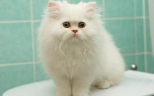 Белый персидский кот с глазами разного цвета