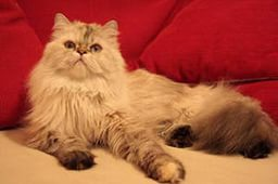 Хорошее физическое состояние персидских котов
