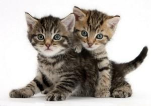 Кормление Сибирских котят