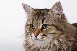 Кормление натуральными продуктами сибирскую кошку