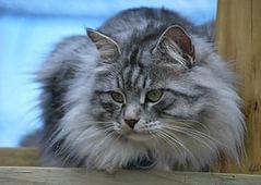 Критерии отбора сибирского кота