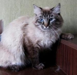 Окрасы сибирской кошки