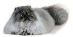 Особенности поведения кошек на выставках