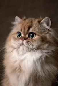 Перевозка персидской кошки