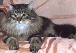 Пушистая шерсть сибирских кошек нуждается в уходе