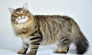 Сибирские кошки – одна из самых древних длинношерстных пород