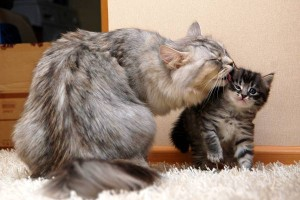 Содержание и уход сибирской кошки