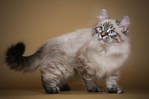 ибирские кошки являются украшением выставок