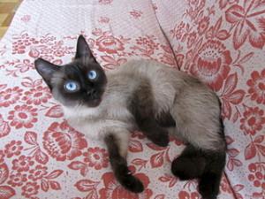 Аллергия у сиамской кошки