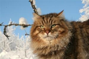 Характер сибирского кота