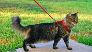 Как же приучить кошку к шлейке