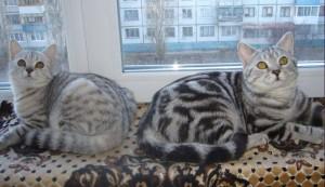 Популярные окрасы британских кошек