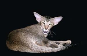 Порода кошек с большими ушами