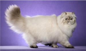 Самая пушистая порода кошек