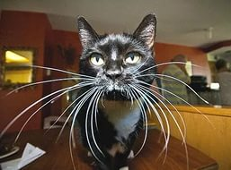Зачем кошке усы