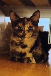 Черепаховый окрас кошек