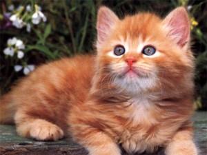 Катаракта у кошек4