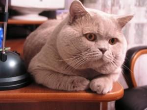 Кот-производитель должен быть здоровым