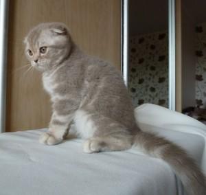 Окрасы шотландских вислоухих кошек