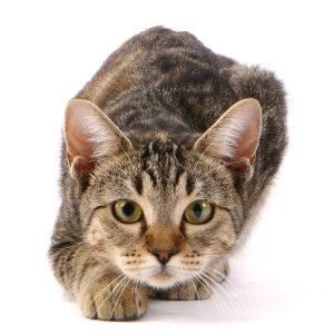 Панлейкопения кошек