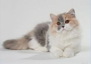 Шерсть длинношерстных кошек необходимо регулярно расчесывать