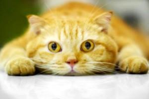 Сахарный диабет у кошек